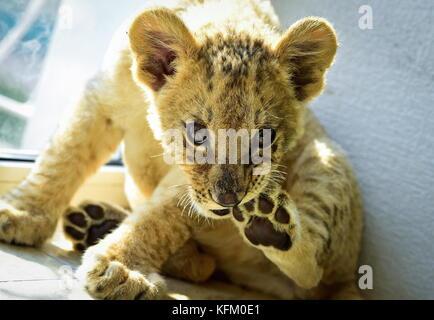 Wladiwostok, Russland. 30 Okt, 2017. Eine zwei Monate alte Lion cub Astra am sadgorod Zoo genannt. Die cub Ein zentralasiatischer - Stockfoto