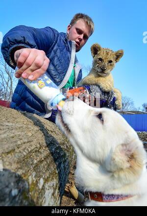 Wladiwostok, Russland. 30 Okt, 2017. Fütterung ein zentralasiatischer Schäferhund Welpe an der sadgorod Zoo. Der - Stockfoto