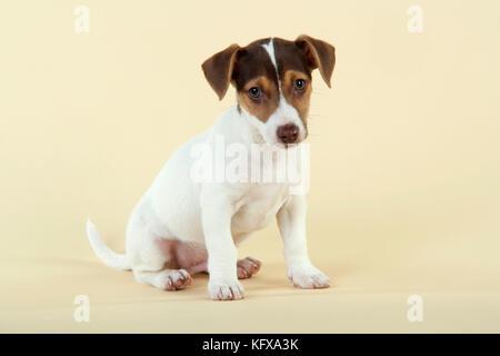 Hund - Jack Russell Terrier Welpen - Stockfoto