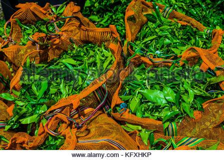 Frisch gepflückte Teeblätter, Hayleys Somerset Tea Estate, Radella, Nanu Oya (in der Nähe von Nuwara Eliya), zentrale - Stockfoto