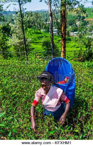Frauen pflücken Kaffee, Tee Immobilien Hayleys Somerset, Radella, Nanu Oya (in der Nähe von Nuwara Eliya), zentrale - Stockfoto