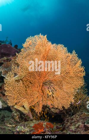 Meer Ventilator auf dem Hang eines Korallenriff mit Sonne und Strahlen sichtbar - Stockfoto
