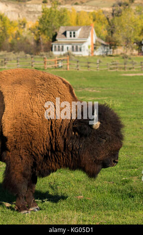 Peaceful Valley Ranch mit Bison, Theodore Roosevelt National Park-South Einheit, North Dakota - Stockfoto