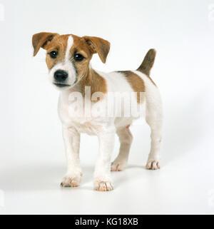 Hund - Jack Russell Welpen - Stockfoto