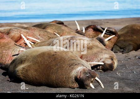 Walross (odobenus rosmarus), kapp Lee, Spitzbergen, Svalbard, Arktis, Norwegen, Europa - Stockfoto