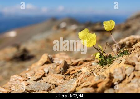 Schönen natürlichen Hintergrund mit feinen gelben Blumen Mohnblumen wachsen auf den Felsen hoch in den Bergen - Stockfoto