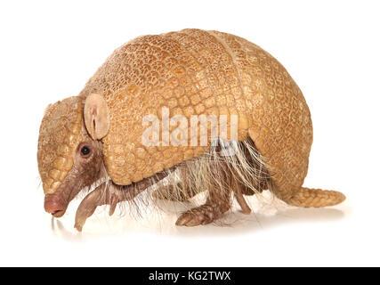 Ein drei-Gebändert armadillo Tolypeutes tricinctus - Stockfoto