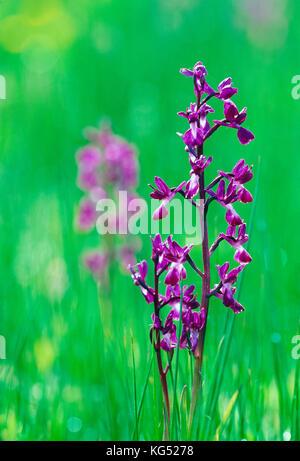 Kanal Inseln. Guernsey. Wilde Blumen. Lose-blühenden Orchideen wachsen in der Wiese.