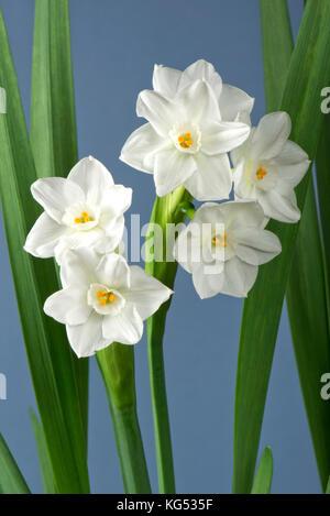Weiße Blumen auf einem duftenden Narzisse, Narzissen \'Paperwhite ...