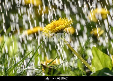 Gelbe Blüten von Löwenzahn auf der Wiese vor dem Hintergrund von Tropfen und Ströme von Regen im Sonnenlicht. - Stockfoto