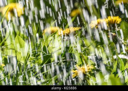 Abstrakte natürlichen Hintergrund mit Tropfen und Jets von Regen vor dem Hintergrund der gelbe Löwenzahn Blumen - Stockfoto