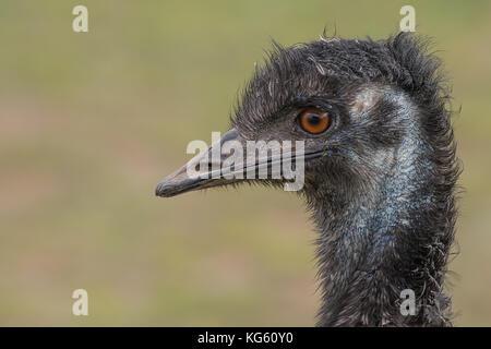 Eine sehr enge Profil Foto des Kopfes eines EWU-übersicht Detail im Auge und Schnabel - Stockfoto