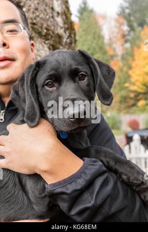 """Der Mann hält """"Schatten"""", seine drei Monate alter schwarzer Labrador Retriever Welpen, in Bellevue, Washington, - Stockfoto"""