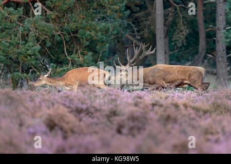 Red Deer (Cervus elaphus) Nationalpark Hoge Veluwe, Niederlande, Europa - Stockfoto