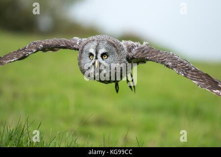 Skandinavische große große graue Eule im Flug über Felder - Stockfoto