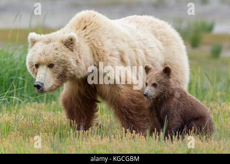 Alaskan Brown bear Leistungsbeschreibung mit cub - Stockfoto