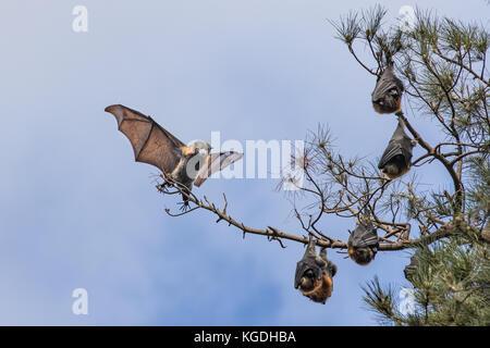 Flug der Fledermaus - Stockfoto