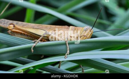 Riesige Grasshopper (valanga irregularis), Ross River, Townsville, QLD, Australien - Stockfoto
