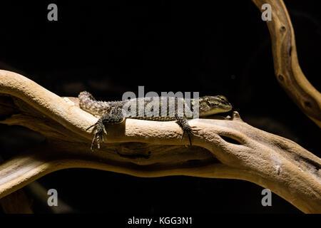 Lizard ruht auf Pflanze Stengel im Zoo. - Stockfoto
