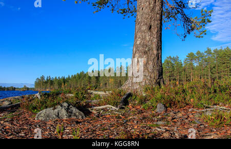 Wald und See in der Taiga Bereich. Cape, Kiefer stamm und ein altes Lagerfeuer diese Seite. ruhigen See im Herbst. - Stockfoto