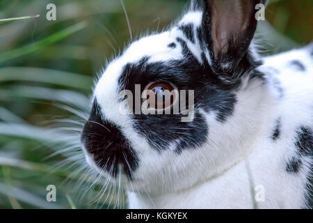 Europäische Hauskaninchen (Oryctolagus cuniculus domesticus) Nahaufnahme. - Stockfoto
