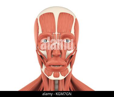 Menschlichen Kopf Muskeln (Temporalis), Illustration Stockfoto, Bild ...