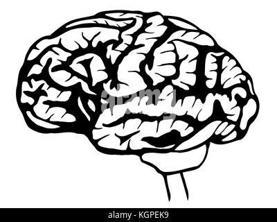 Ein Alter Stich des menschlichen Gehirns. Das menschliche Gehirn in ...