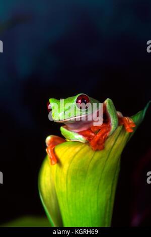 Red Eye Tree Frog, agalychnis callidryas, Costa Rica - Stockfoto