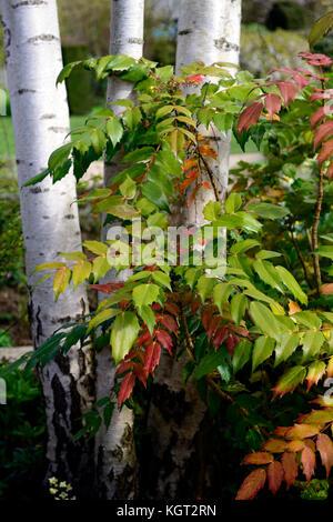 Wintergarten, Winter, Garten, Betula utilis jacquemontii, West Himalaya Birke, weiße Rinde, Orange, Grün, mahonia - Stockfoto