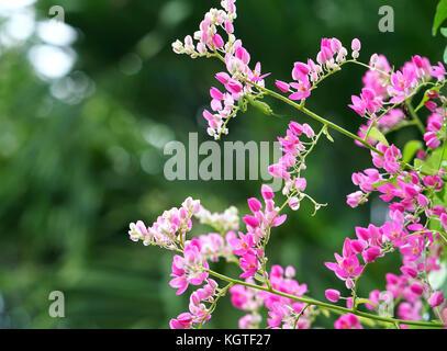 Die antigonon leptopus blüht im Garten, das ist ein Weiß, Lila ...