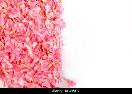 Nerium oleander - rosa Blüten - Stockfoto