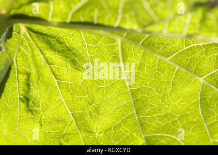 Makro Foto von einem grünen Blatt, kann man sehr gut sehen, das Grundstück details. - Stockfoto