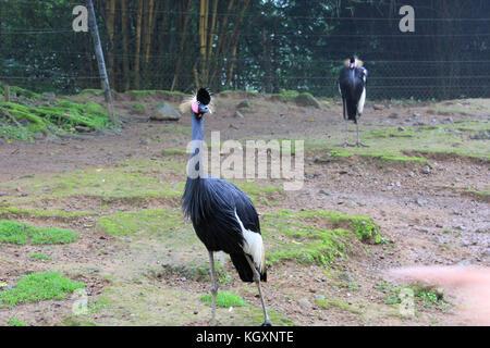 Kasuari/Kasuari Vogel im Zoo - Stockfoto