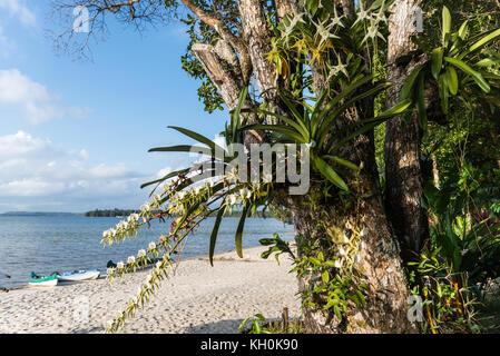 Weiße Orchideen wachsen auf einem Baum Stockfoto, Bild: 49017601 - Alamy