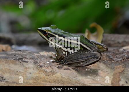 Grüne paddy Frosch - Stockfoto