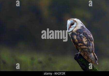 Eine captive Schleiereule ruht auf einem Baumstamm in der Mitte einer Wiese - Stockfoto