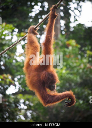 Bornesischen Orang-utan (Pongo pygmaeus) hängende Kabel an, sepilok orangutan Rehabilitation Centre, Sabah, Borneo, - Stockfoto