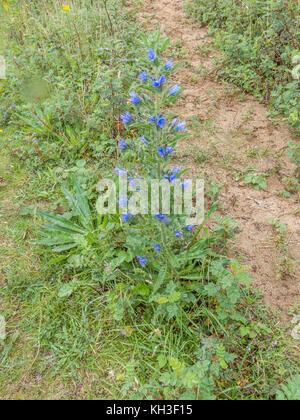 Blühende Muster der Viper - bugloss/Echium vulgare im sandigen Boden wächst. Heilpflanze einmal in pflanzliche Heilmittel - Stockfoto