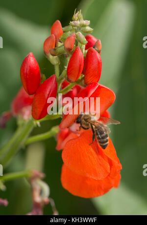 Honigbiene, Apis mellifera, Nahrungssuche auf leuchtend roten Blüten von Stangenbohnen, Berkshire, August