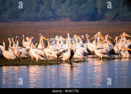 Große weiße Pelikane, pelecanus onocrotalus, auch östlichen weiße Pelikan oder rosa Pelikan, Keoladeo Ghana National - Stockfoto
