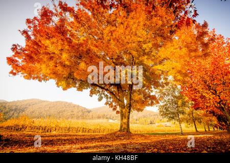 Murray in die Berge Rail Trail durch die herrlichen Farben des Herbstes in der Victoria alpinen Tälern in der Nähe - Stockfoto