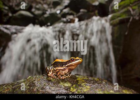 Fungoid Frosch, hylarana malabarica, Lebensraum, mulshi, Maharashtra - Stockfoto
