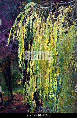 Weeping Willow Tree Branches in herbstlichen Farben in Shipton unter Wychwood Oxfordshire England Vereinigtes Königreich - Stockfoto