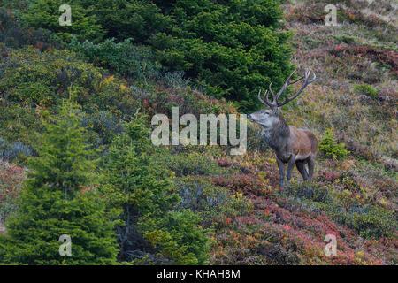 Red Deer (Cervus elaphus) an einem Berghang im Herbst, Tirol, Österreich - Stockfoto
