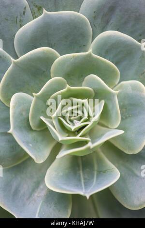 Echeveria secunda Arten Textur und bis Ansicht schließen in Schwarz und Weiß. - Stockfoto