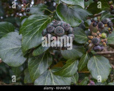 Nahaufnahme der violett-schwarze Beeren der Gemeinsamen Efeu / Hedera helix. Stockfoto