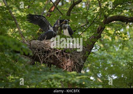 Schwarzstorch (Ciconia nigra), Nachkommen, nestlinge, fast Flügge, Flattern mit Flügeln, in der typischen Nest, - Stockfoto