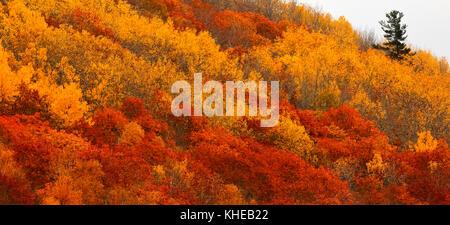 Ein einsamer immergrüner Baum steigt über den lebhaften Farben des Herbstes auf einem Hügel. - Stockfoto