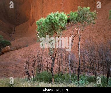 Bäume am Fuße des Uluru, Uluru-Kata Tjuta National Park, Northern Territory, Australien - Stockfoto