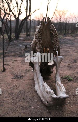 Matobo Nationalpark, Simbabwe - 17. Oktober 2011: Harare, Simbabwe. 11. Oktober. Slull eines pochierte White Rhino - Stockfoto